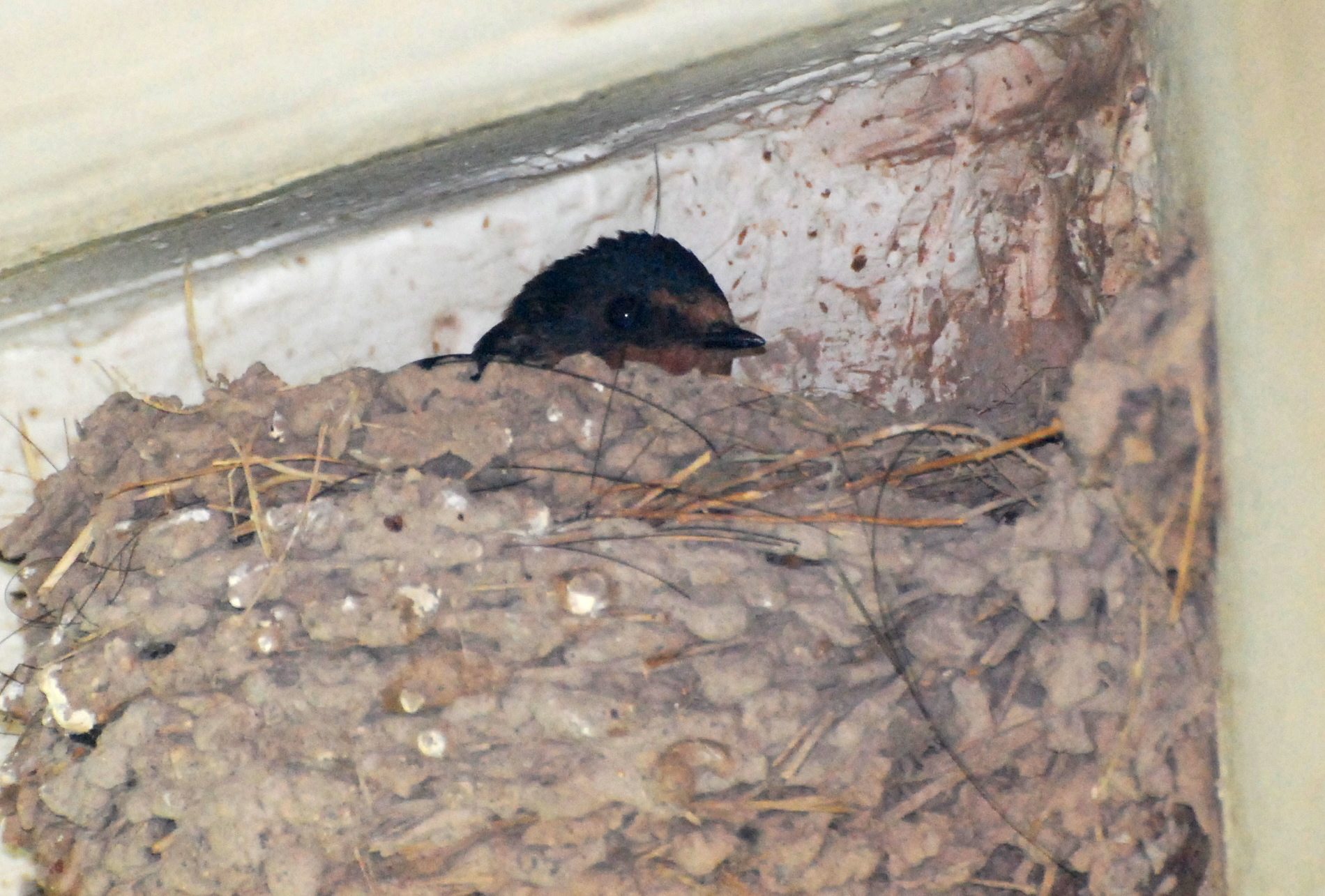Barn Swallow nesting on The San Pedro House171325.tmp/SPAZbarnswallownest.JPG