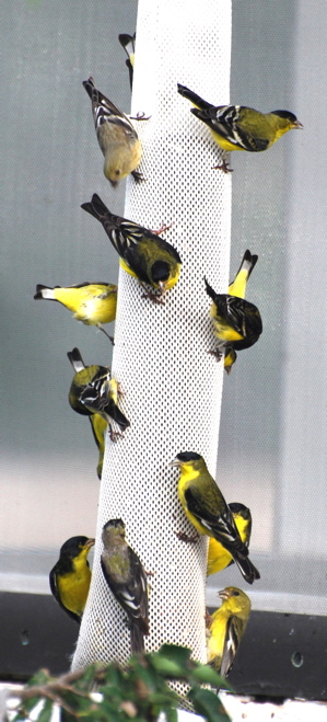 Lesser Goldfinches 171325.tmp/SPAZbarnswallownest.JPG