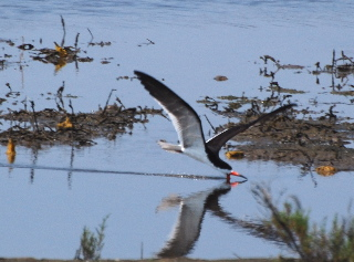 Black Skimmer fishing picturegallery171325.tmp/blackskimmer.jpg