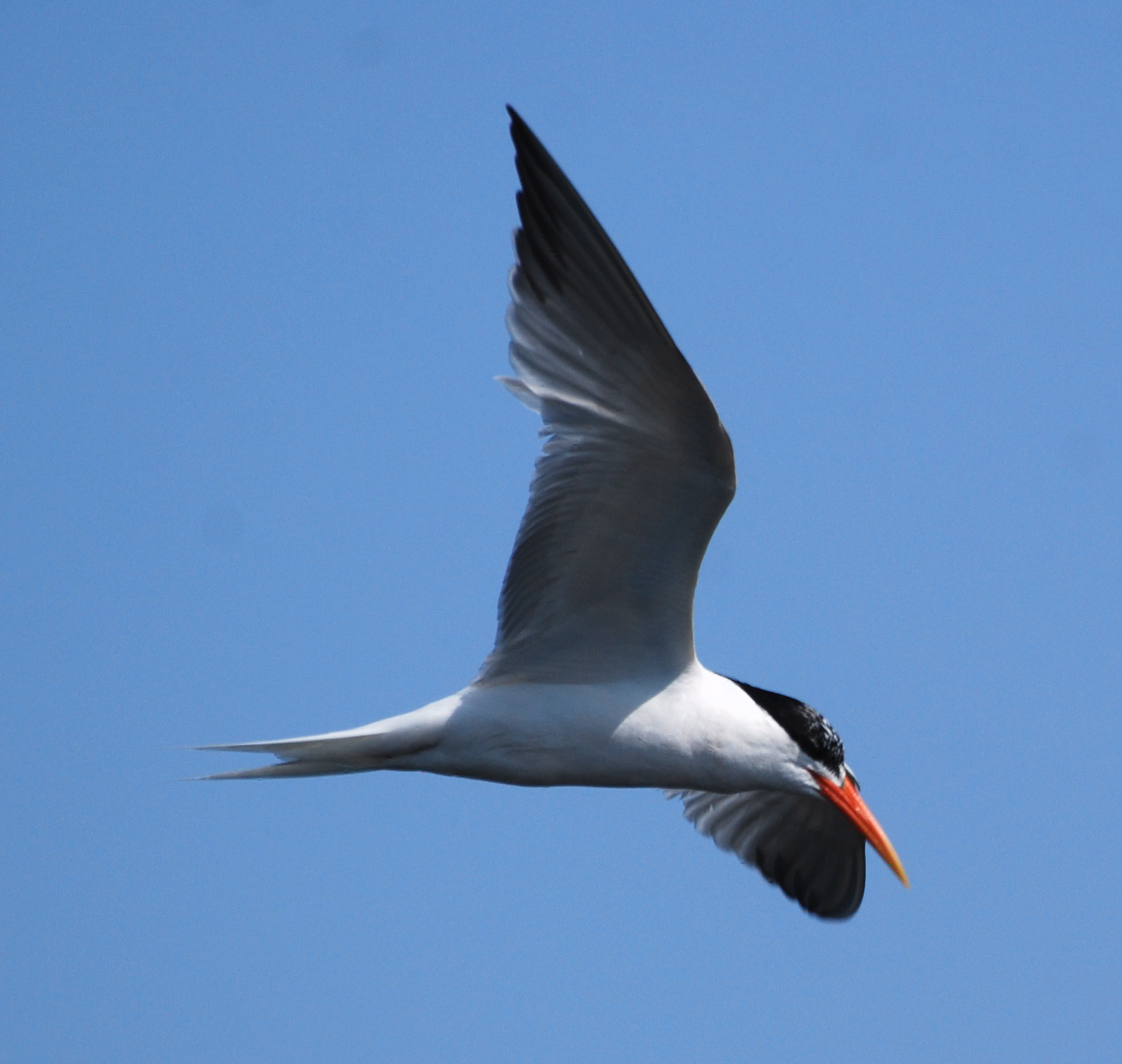 Elegant Tern in flight171325.tmp/mysterybird.JPG
