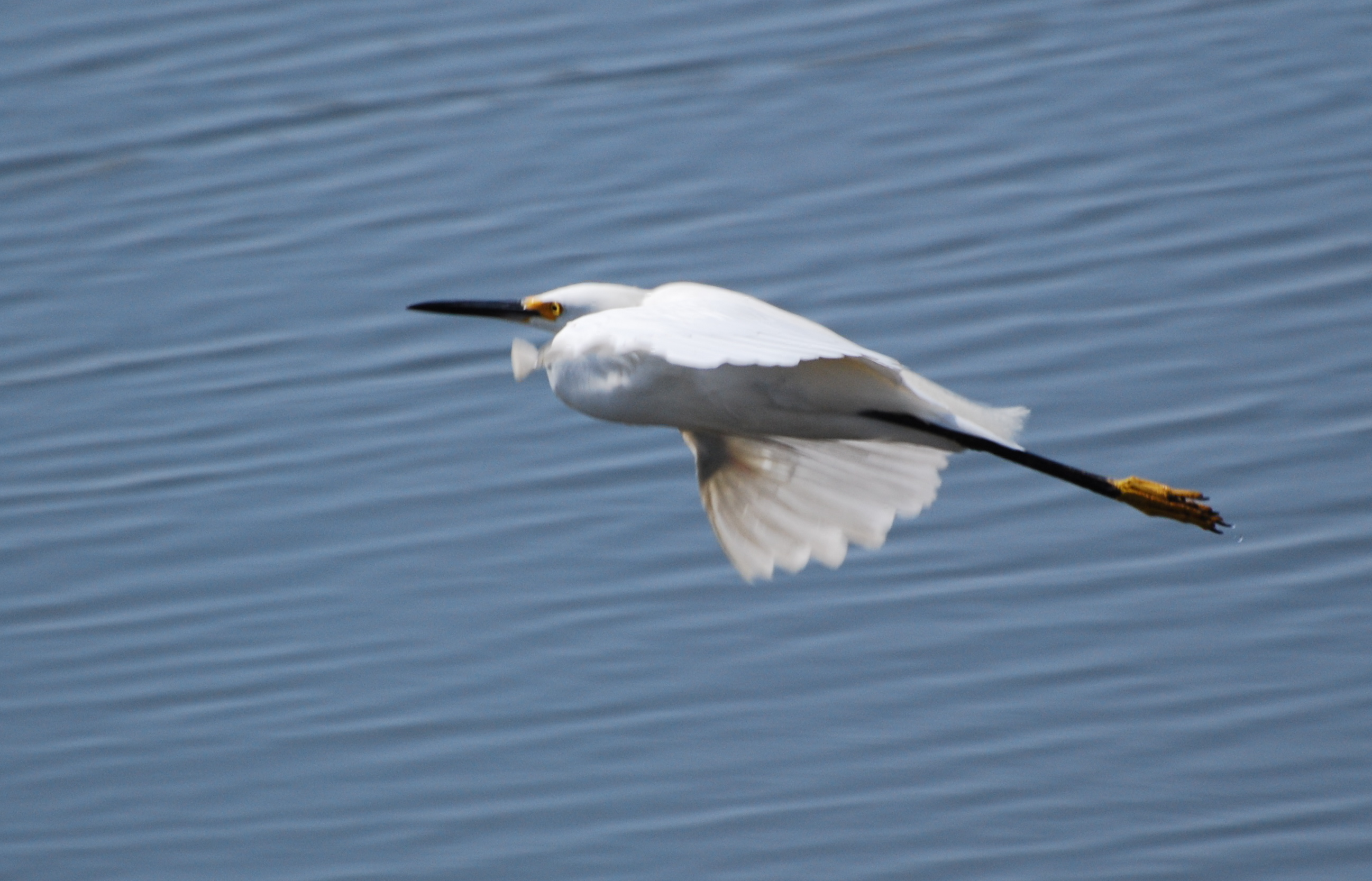Snowy Egret in Flight171325.tmp/mysterybird.JPG