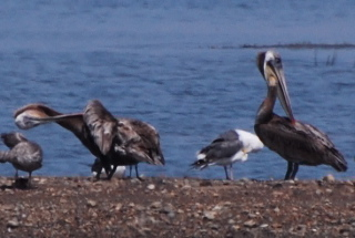 Immature Brown Pelicans171325.tmp/mysterybird.JPG