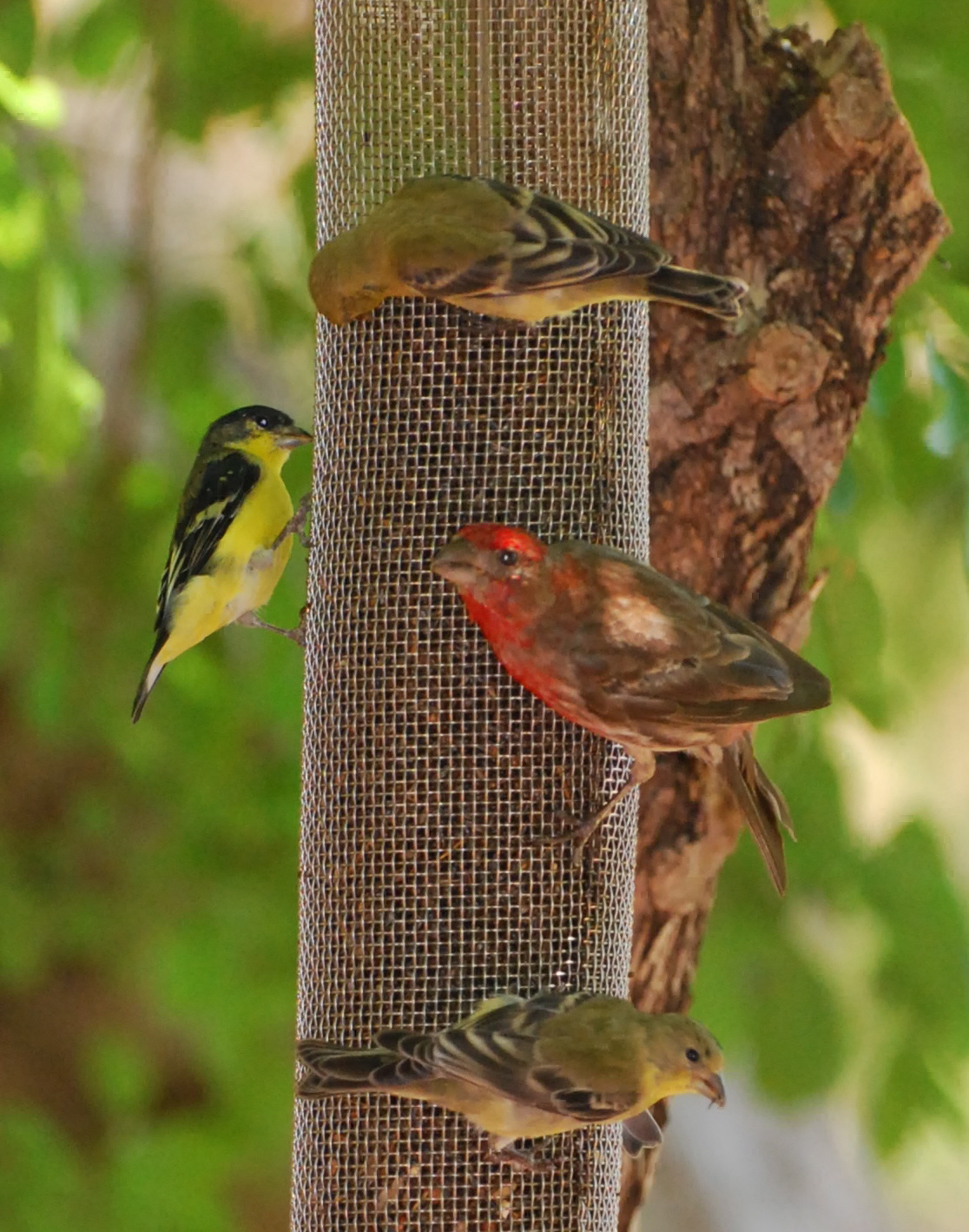 Lesser-American Goldfinches & Red House Finch 171325.tmp/miafinchonfeather.JPG