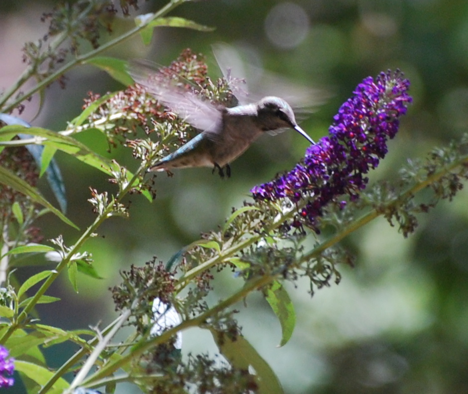 Female Black-chinned Hummingbird171325.tmp/miafinchonfeather.JPG
