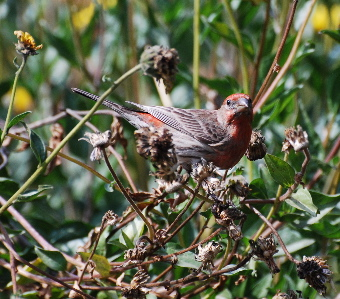 Red House Finch 171325.tmp/Red House Finch .jpg