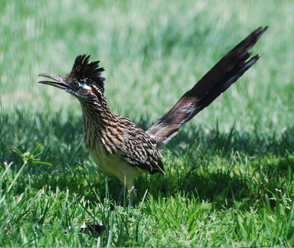 greater roadrunner 171325.tmp/roadrunner.jpg
