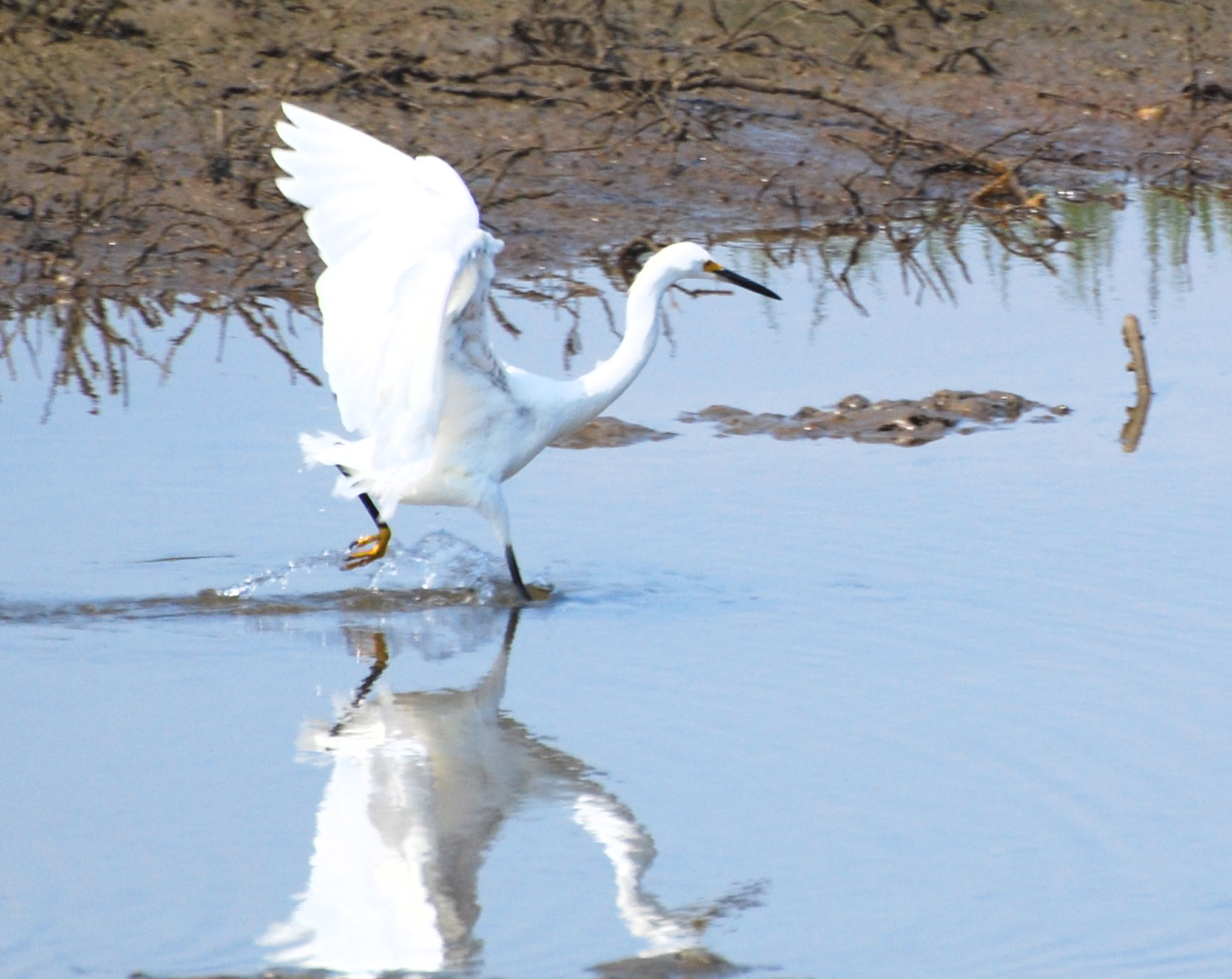 Snowy Egret on the run171325.tmp/mysterybird.JPG