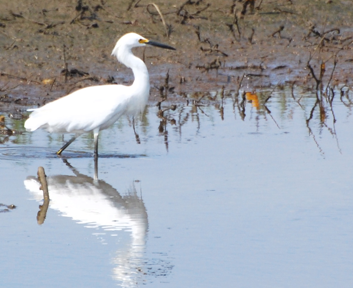 Snowy Egret on the move171325.tmp/mysterybird.JPG