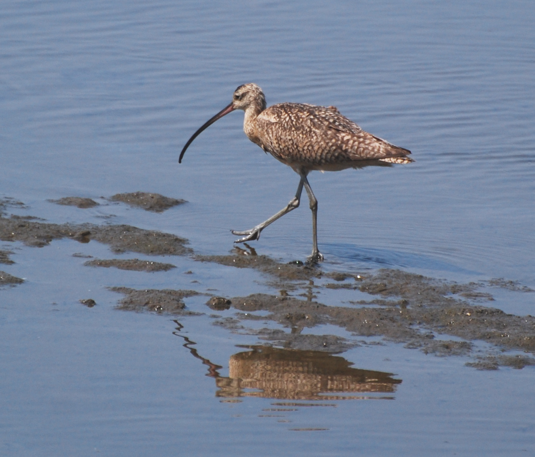 Whimbrel on the hunt 171325.tmp/mysterybird.JPG