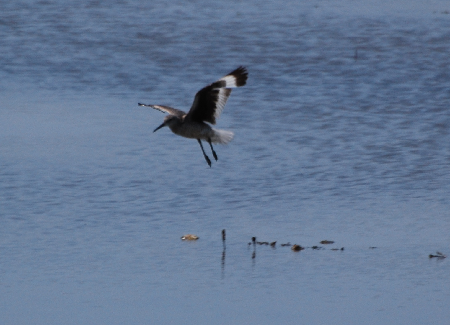 Willet in flight 171325.tmp/mysterybird.JPG