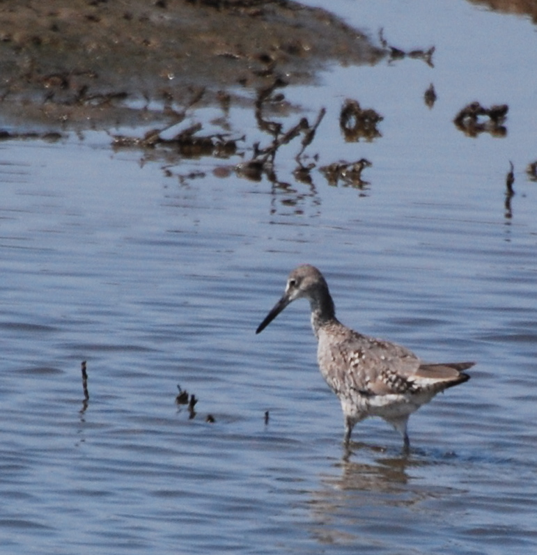 Willet fishing171325.tmp/mysterybird.JPG